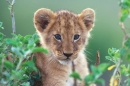 A close up of a lion cub