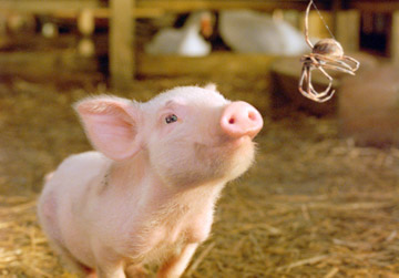 Smiling pig looks up at a spider in its web in a barn