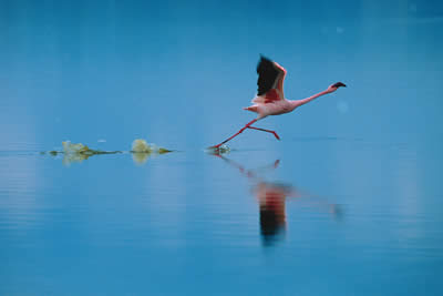 A flamingo takes flight over water
