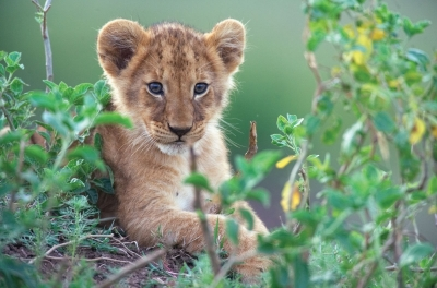 A lion cub lies on the ground looking towards the camera
