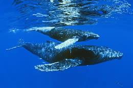Still of adult whale swimming alongside a baby whale underwater