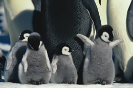 Mr  Popper's Penguins Activity Worksheets   Home Stuff   Mr likewise File PENGUIN LIFECYCLE H     Wikipedia together with Lost and Found Unit by katie2k   Teaching Resources   Tes together with 202 Best Mr  Poppers Penguins images   Penguin   Cut animals as well Film Education   Resources   Film Liry   March of the Penguins together with Penguin Pre writing Worksheet   From the Pond likewise Lesson Plan   The Emperor Penguin's Egg likewise JBoss Enterprise Application Platform 5 Seam Reference Guide   Red in addition March Of The Penguins Teaching Resources   Teachers Pay Teachers further March of the Penguins 2  The Next Step Movie Review besides  moreover March Of The Penguins Teaching Resources   Teachers Pay Teachers moreover Family Activity  Mr  Popper's Penguins   NewVictory org Blog further Maisie and the Dolphin   Penguin Readers together with penguins with yellow – hapsofcal club besides Lesson Plan   The Emperor Penguin's Egg. on march of the penguins worksheet