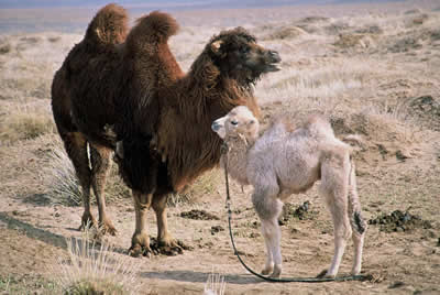 A mother and calf camel, in the desert