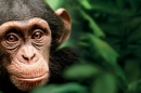 Close-up on a chimp's face, amongst leaves