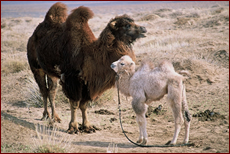 The Camels In Story Of Weeping Camel Are Bactrian Which Have Distinctive 2 Humps Also Live Wild Mongolia